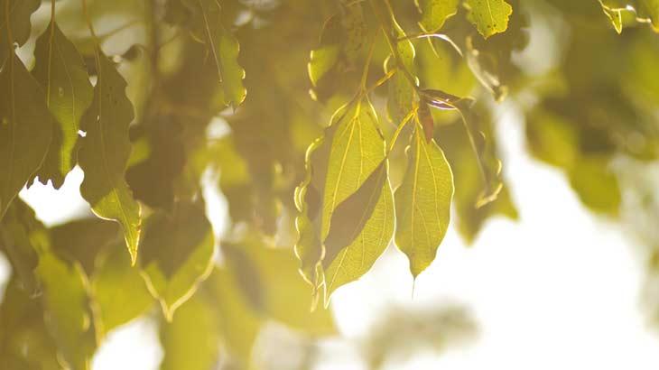 樟脳の原料となるクスノキの葉の写真