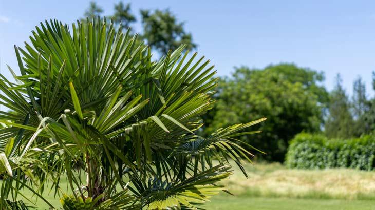 自生している棕櫚の画像