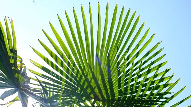 棕櫚の葉の画像