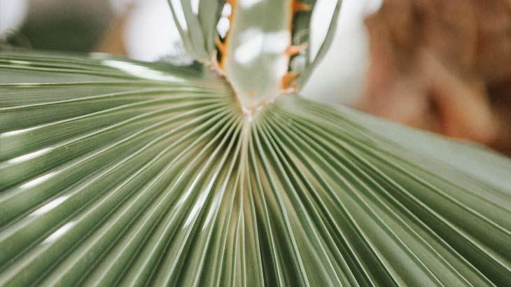棕櫚の葉の拡大画像