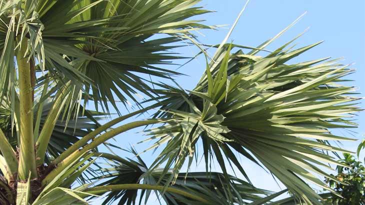 自生している棕櫚の写真