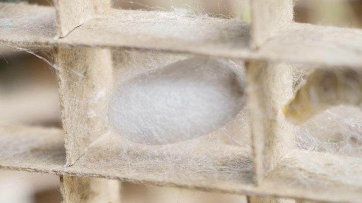 蚕の繭の画像